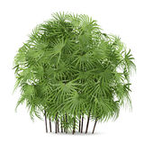 Palm plant bush isolated. Rhapis excelsa Stock Photography