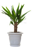 Palm plant in the flowerpot Royalty Free Stock Photo