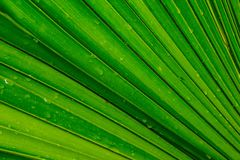 Palm tree green leaf, background royalty free stock photo