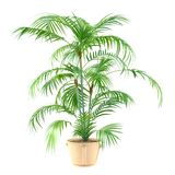 Palm plant in the pot Stock Images