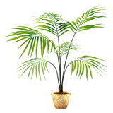 Palm plant in the pot Royalty Free Stock Photography