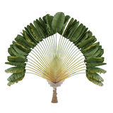 Palm plant. Ravenala madagascariensis Royalty Free Stock Photos