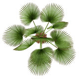 Palm plant. Trachycaprus fortunei top Royalty Free Stock Images