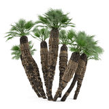 Palm plant tree isolated. Chamaerops humilis Stock Photos