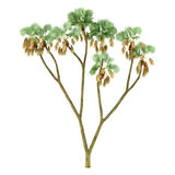 Palm plant tree isolated. Hyphaene thebaica. See my other works in portfolio Royalty Free Stock Photos