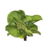 Palm plant tree isolated. Licuala peltata Stock Image