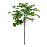 Palm plant tree isolated. Licuala ramsayi. See my other works in portfolio Stock Photography