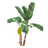 Palm plant tree isolated. Musa acuminata banana Royalty Free Stock Images