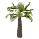Palm plant tree isolated. Trachycaprus Stock Photos