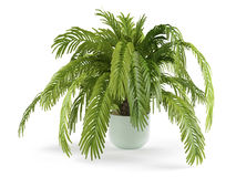 Palm plant tree in the pot Royalty Free Stock Photos