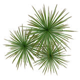 Palm plant tree top Stock Images