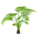Palm plant tree Royalty Free Stock Image