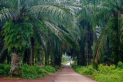 Palm plantation Stock Images