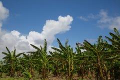 A palm plantation with blue sky Stock Photos