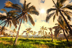 Palm plantation Royalty Free Stock Photography
