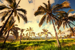 Palm plantation Stock Images