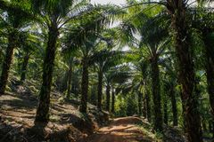 Palm plantation in Indonesia of which palm oi royalty free stock photography