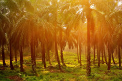 Palm Plantation Royalty Free Stock Image