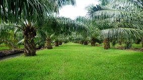 Palm plantation. Oil Palm plantation in Thailand Royalty Free Stock Image