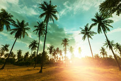 Palm plantation Royalty Free Stock Photo