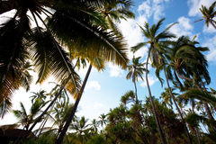 Palm plantation Royalty Free Stock Photo