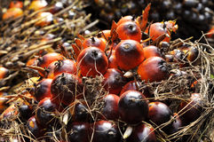 Palm Plat Fruit Seed Cluster Stock Photo