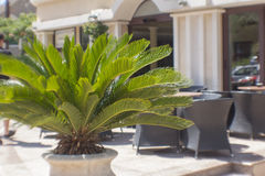 Palm in the pot. A small palm tree growing in the pot at the restaurant Royalty Free Stock Photo