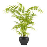 Palm in the pot Royalty Free Stock Photos