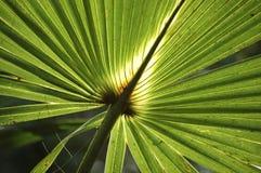 Palm Ray Stock Image