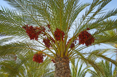 A Palm With Red Fruit Dates On Palm Tree Stock Image