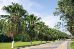 Palm road. The landscape of park road with tall palms royalty free stock images