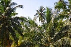 Palm's treetops Stock Photos