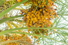 Palm seed on palm tree Stock Image
