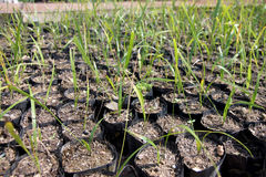 Palm Seedlings. Royalty Free Stock Image