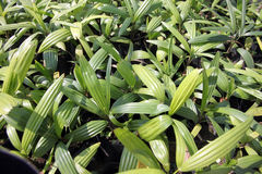 Palm Seedlings. Royalty Free Stock Images