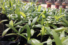 Palm Seedlings. Stock Image