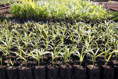 Palm Seedlings. Royalty Free Stock Photo