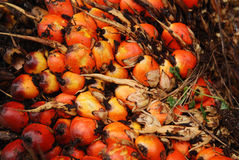 Palm seeds in the farm Royalty Free Stock Photography