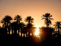 Palm Silhouettes over sunset in the desert. Stock Photography