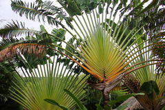 Palm is similar to peacock`s tail. Palm is similar to the lush peacock`s tail, a small trunk , a crown is a lot of leaf, flat, spread out to the sides, like a Stock Image