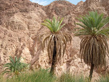 Palm on Sinai. Royalty Free Stock Photos