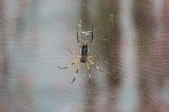 Palm Spider, Mahe, Seychelles Royalty Free Stock Photos