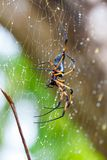 Palm spider after the rain. Seychelles 2013 Stock Image