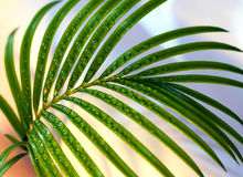 Palm sprig Stock Image