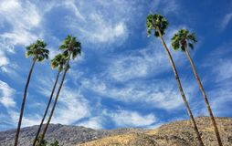 Palm Trees with desert mountains in background stock photography