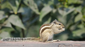 Palm Squirrel Royalty Free Stock Photo