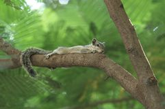 Palm Squirrel Stock Images