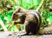 Palm squirrel eating a nut on the ground in the island of Sri Lanka stock photography