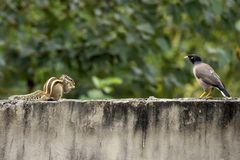 Palm Squirrel and Myna stock photos