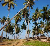 Palm on Sri Lanka Royalty Free Stock Photos